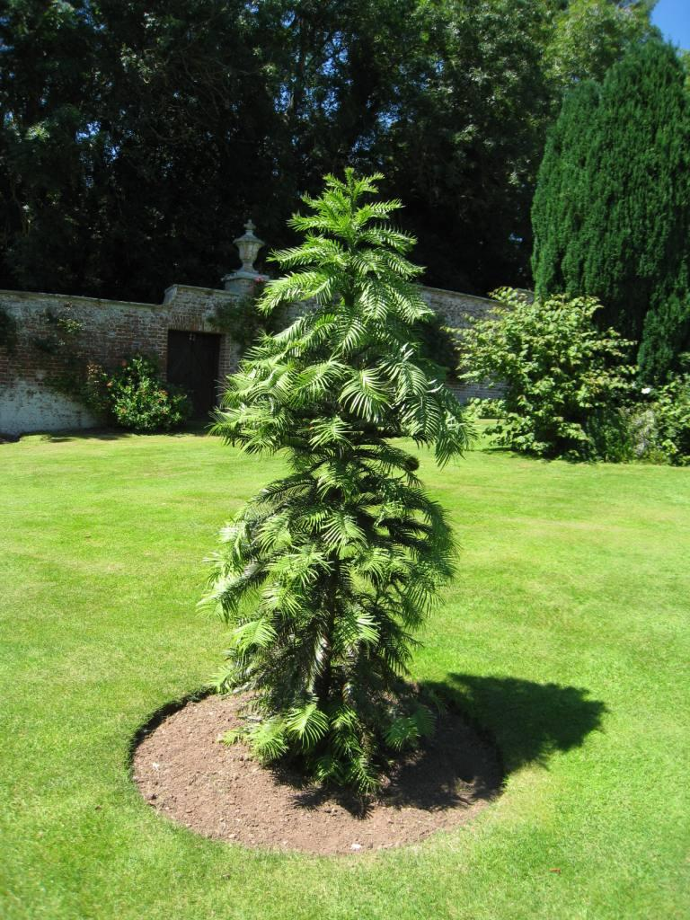 A young Wollemia tree in a Devon garden